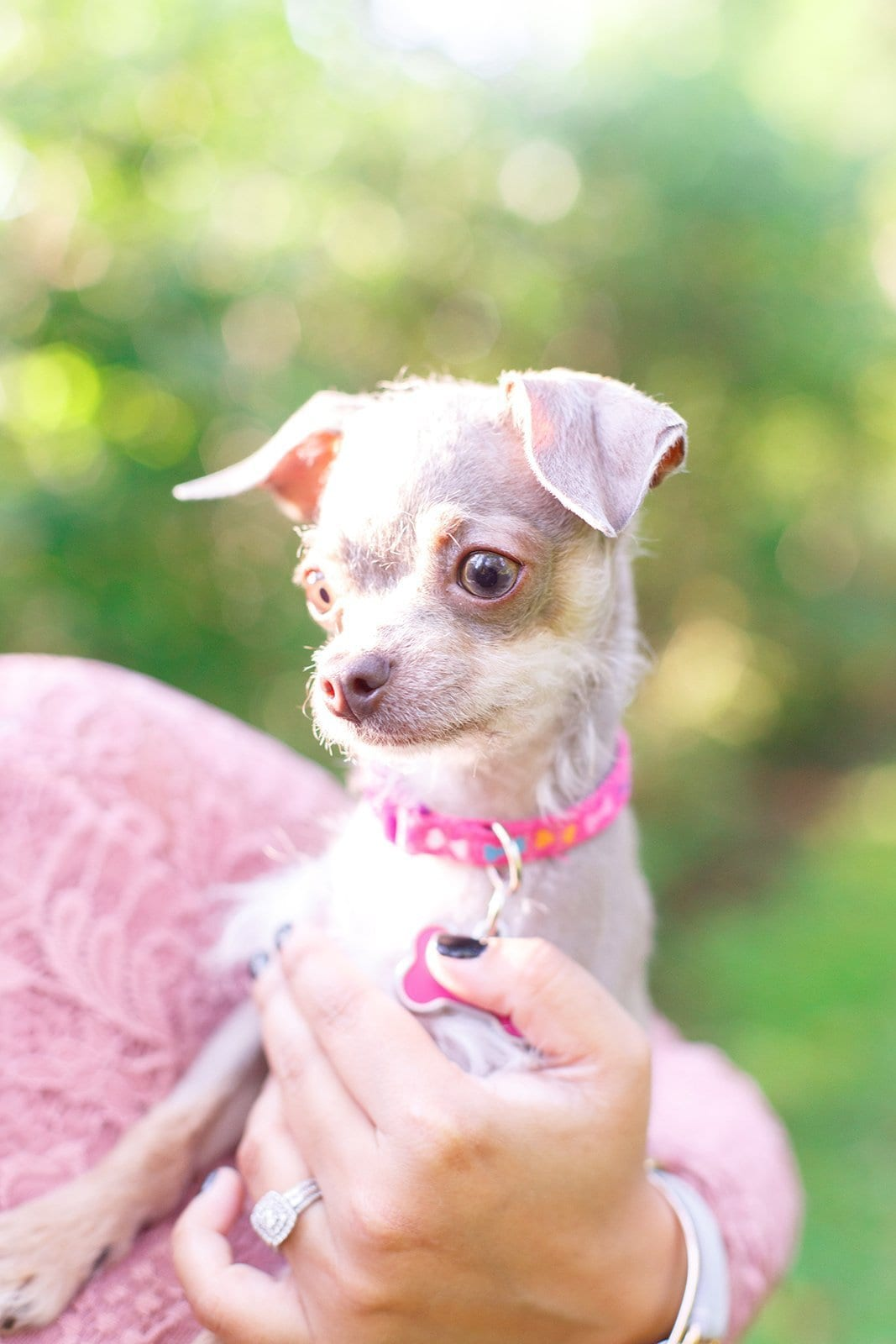 Chihuahua Poodle Mix Quirky Traits